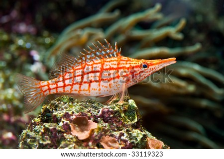 a sitting red stripped tropical sea fish - stock photo