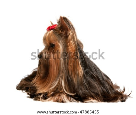 A sitting yorkshire terrier; isolated on the white background