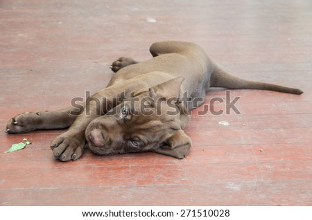 A six wee old German Shorthaired Pointer puppy lying on a red floor. - stock photo