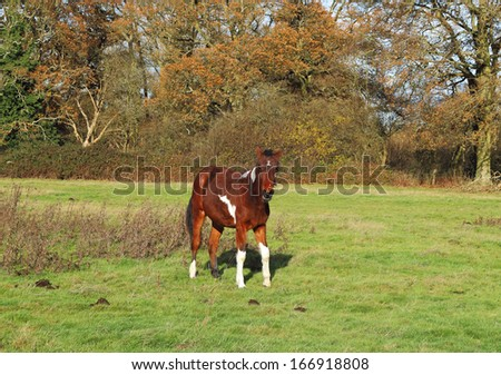A Skewbald Foal walking in an english meadow with trees in Autumn colours