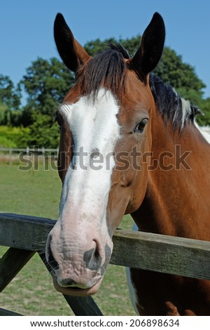 A skewbald horse looking over a gate in a summer paddock - stock photo