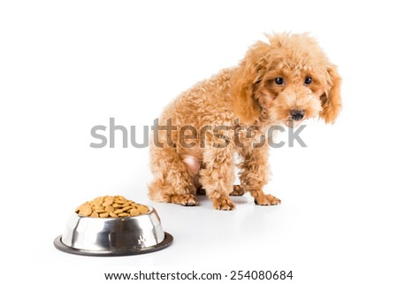 A skinny poodle puppy next to her bowl of kibbles - stock photo