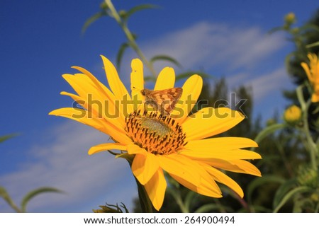A Skipper Butterfly Perched on a Yellow Flower - stock photo