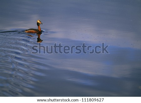 A slavonian grebe swimming