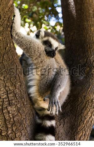 A sleep on a tree lemur (closely), Ring-tailed Lemur (Lemur catta) - stock photo