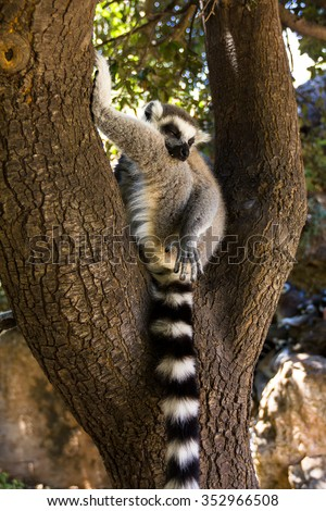 A sleep on a tree lemur, Ring-tailed Lemur (Lemur catta) - stock photo