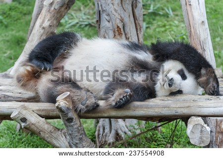A sleeping giant panda bear  - stock photo