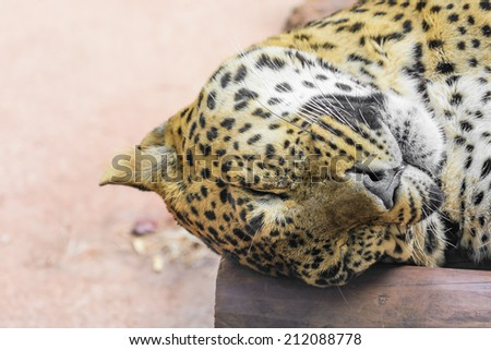 A sleeping leopard - stock photo