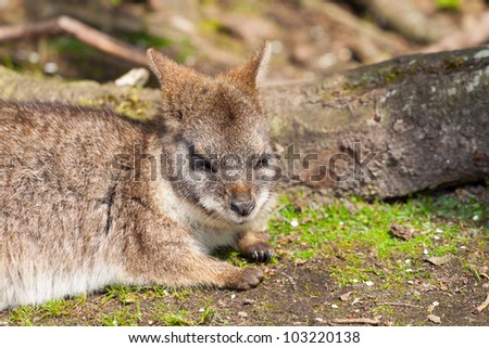 A sleeping parma wallaby in a dutch zoo