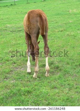 A small and cheeky Hanoverian's foal - stock photo