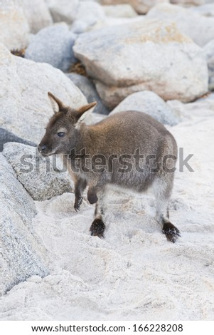 A small and cute wallaby on the sand of a beach in Tasmania, South Australia. - stock photo