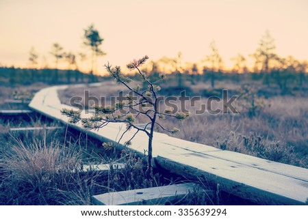 A small and lonely pine is standing next to a duckboard. Image taken on a cold morning in Finland. Duckboards are covered with frost and sunrise is in the background. Image has a vintage effect.