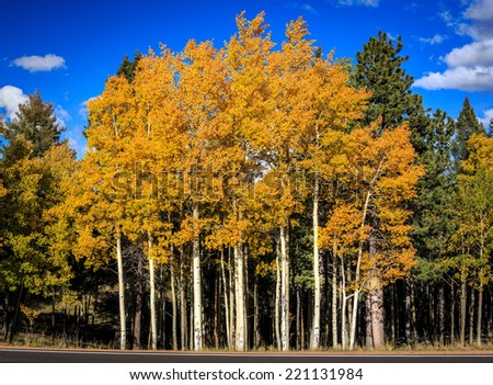 A small aspen grove in a green forest shows its fall colors - stock photo