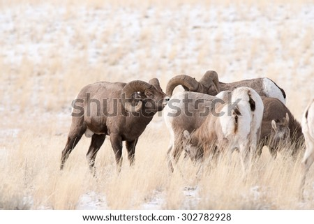 A small band of big horn sheep with two rams - stock photo