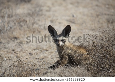 A small bat-eared fox with his large ears up. - stock photo