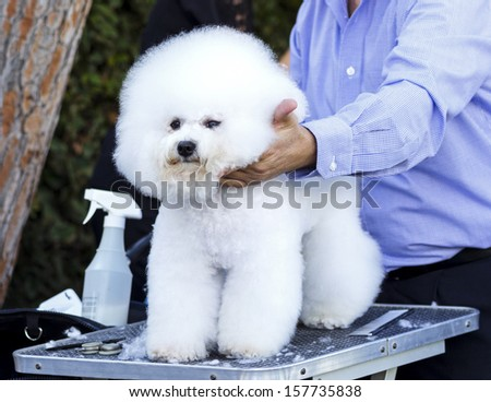 A small beautiful and adorable white bichon frise dog being groomed by a professional groomer using special products and making its coat clean and fluffy. - stock photo