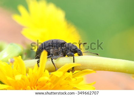 a small black weevil crawling on the stem of a dandelion flower