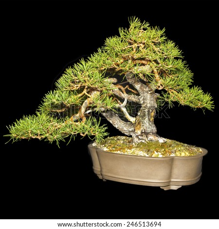 A small bonsai tree in a ceramic pot, cascade style isolated on a black background - stock photo