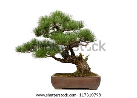 A small bonsai tree in a ceramic pot. Isolated on a white background. - stock photo