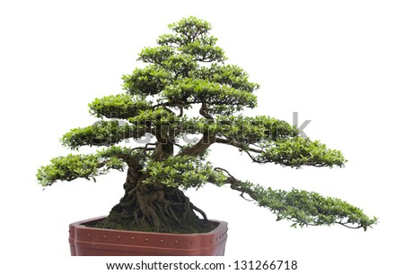 A small bonsai tree in a ceramic pot. Isolated on a white background.