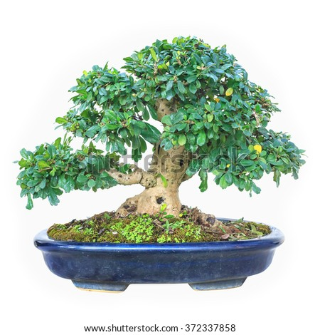 A small bonsai tree in a ceramic pot. Isolated on white background. - stock photo