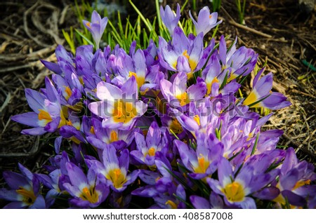 a small bouquet of crocus bloomed in the garden more flowers  - stock photo