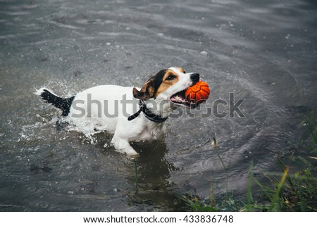 a small breed dog Jack Russell Terrier plays with a bright ball in the river - stock photo