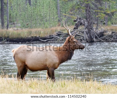 A small bull elk standing in the Madison River at Yellowstone National Park - stock photo