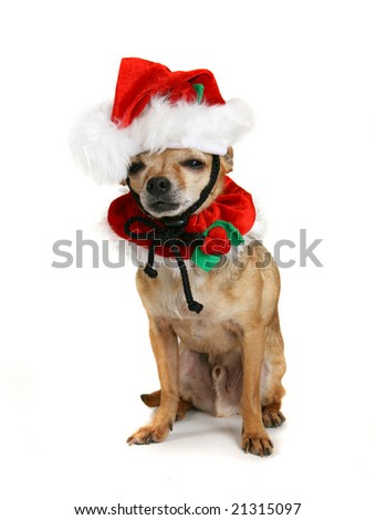 a small chihuahua dressed up as santa
