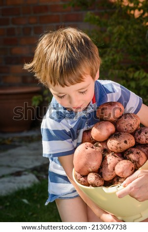 A small child tries to carry a large tub of freshly picked potatoes  - stock photo