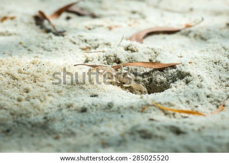 A small crab digging sand out from it's hole