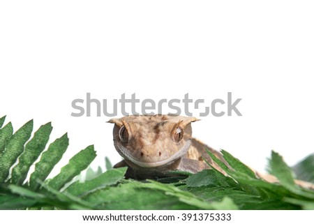 A small Crested gecko is staring at the camera, isolated on white with room for text above