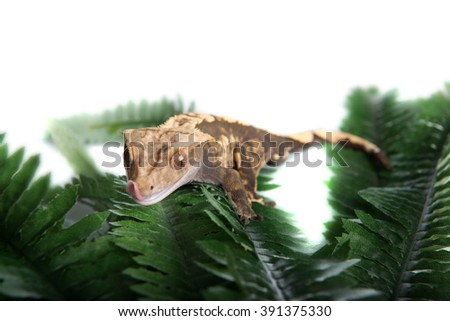 A small cute  Crested Gecko is licking his lips in anticipation for food.