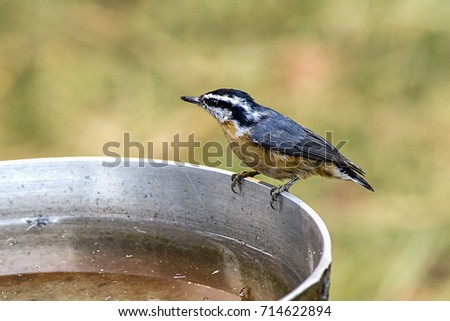 A small cute mountain chickadee perched on the side of a bird bath.