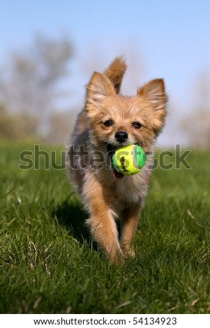 A small dog fetching her toy. - stock photo