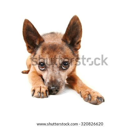 a small dog laying down and pouting isolated on a white background  - stock photo