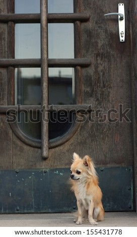 A small dog sitting and waiting for his owner in front of an large old wooden house doors - stock photo