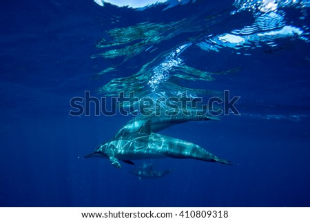 A small family of wild dolphins playing in the clear ocean waters. Mauritius, Indian Ocean