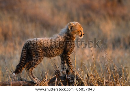 A small, fluffy cheetah cub standing on a log showing the side of its body - stock photo