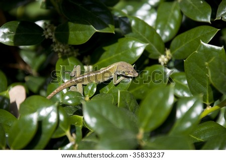 A Small Green Lizard on Resting on Two Green Leaves - stock photo