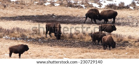 A small group of bison frolicking and fighting, Yellowstone National Park in winter - stock photo