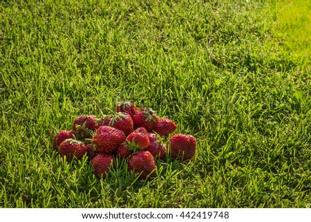 A small group of large ripe strawberries lying on the grass - stock photo
