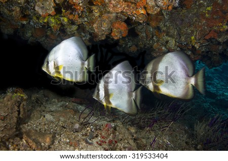 A small group of three curious but shy and wary long-finned batfish (platax pinnatus) tropical fish found while scuba diving in a cave on an offshore island in the Daymaniat Islands in Oman