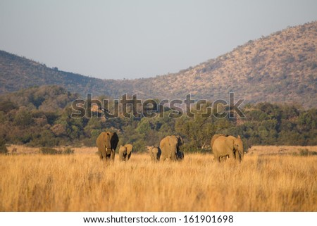 A small herd of African elephants walking towards the camera in golden sunlight - stock photo