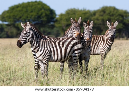 A small herd of burchells zebra in the serengeti