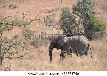 A small herd of elephant at the Hluhluwe and Imfolozi national parks, South Africa - stock photo