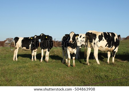 A small herd of Holstein cows on a Wisconsin dairy farm.