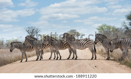 A small herd of Zebra crossing road, Kruger National Park, South Africa - stock photo