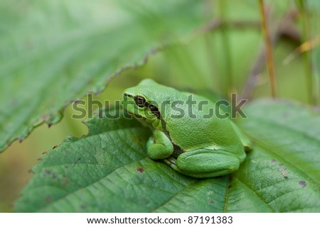 a small Hyla Arborea looking around