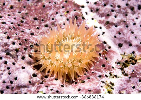 A small juvenile anemone is attached to a beautiful purple encrusted reef in the cold water of California. - stock photo